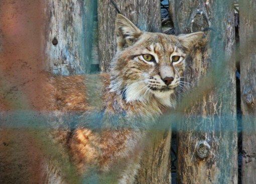 Septynios Joniškyje neteisėtai laikytos lūšys perduotos globoti Belgijos gyvūnų centrui