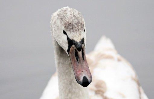 Europoje plintantis paukščių gripas nustatytas Raseinių rajone rastai nugaišusiai gulbei