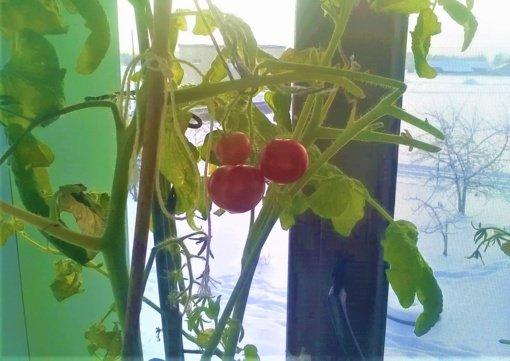 Gydytojų namuose pomidorai noksta ištisus metus (nuotraukų galerija)