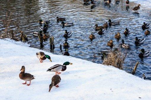 Įšalusių lede paukščių aplinkosaugininkai paimti negali