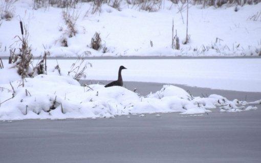 Skaičiuojami Nevėžyje žiemojantys paukščiai