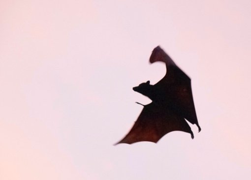Šikšnosparnių ėminiuose rastas naujas COVID-19 ligai beveik identiško viruso sukėlėjas