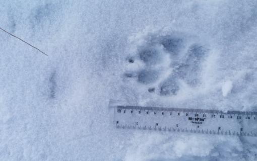 Šalia Plačiavėlės miško aptikta vilkų pėdsakų