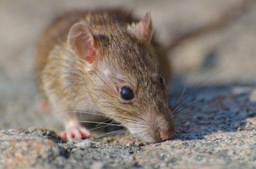 Neįtikėtina istorija: saloje įstrigusius žmones išgelbėjo valgomos žiurkės
