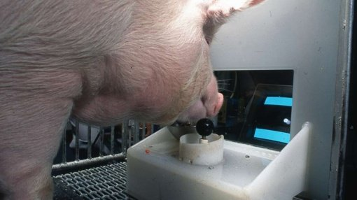 Kiaulės protingesnės, nei manėme: geba žaisti vaizdo žaidimus