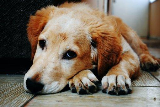 Tauragėje veikusioje nelegalioje veisykloje aptikti 27 šunys