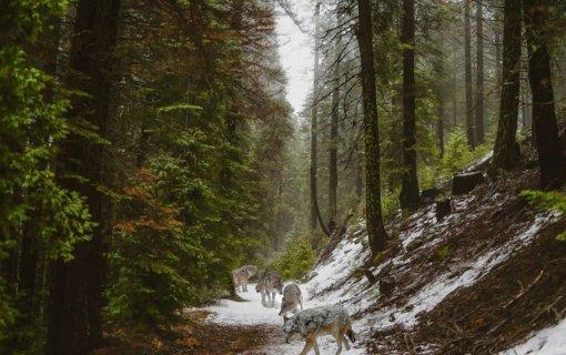 Priminimas medžiotojams: privaloma atlikti medžiojamųjų gyvūnų apskaitą pagal pėdsakus sniege