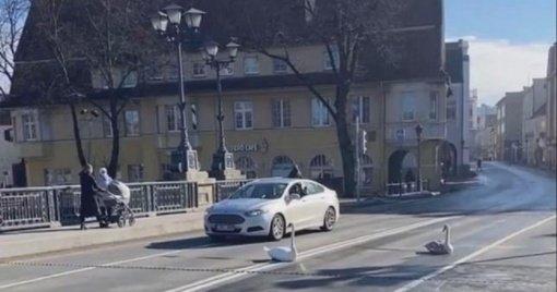 Klaipėdos centre gulbės paralyžiavo eismą