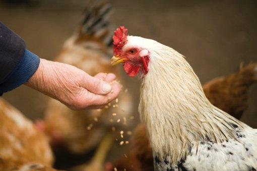 Naminiams paukščiams didėja galimybė užsikrėsti paukščių gripu
