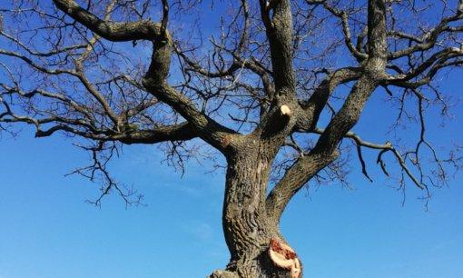 Pavasaris už lango – tvarka kieme: ką reikia žinoti apie medžių genėjimą?