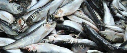 A. Gedvilienė: bus siūloma, kad verslinė žvejyba iš Kuršių marių pasitrauktų iki 2024 metų pabaigos