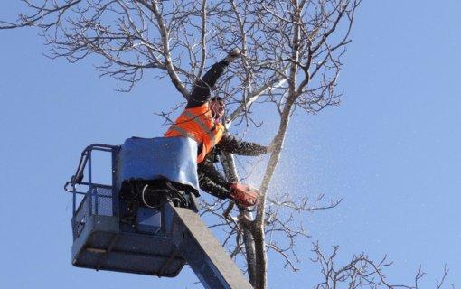 Įsigalioja draudimas kirsti ir genėti saugotinus medžius