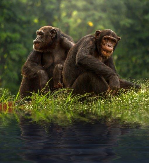 Kaip iš siaubo filmo – sovietų finansuojamas mokslininkas bandė sukurti žmonių bei šimpanzių hibridą (vaizdo įrašas)
