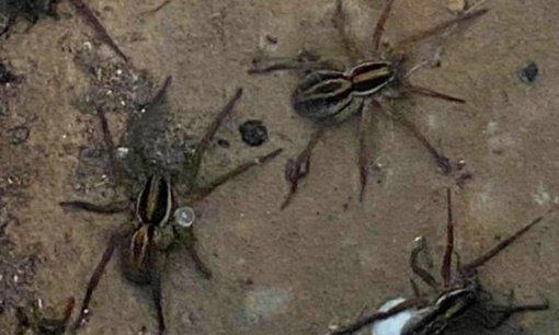 Australiją užtvindžius potvyniams į namus plūsta milijonai vorų (vaizdo įrašas)