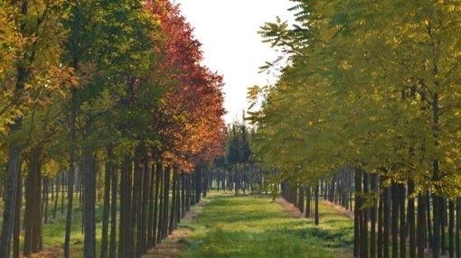 """""""Megaplanto"""" medelynas paaiškina: nuo ko priklauso didelio medžio kaina?"""