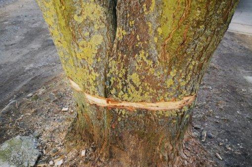 Kėdainiuose pasidarbavo vandalai: sužaloti sveiki ir gražūs miesto medžiai