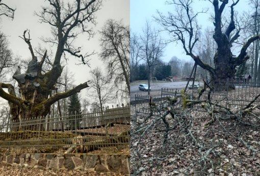 Lūžo Stelmužės ąžuolo šaka
