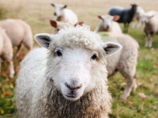 Namo kieme Kaune rastos padėtos dvi avių galvos