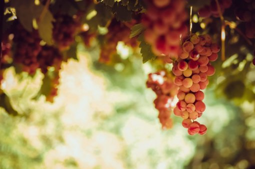 Ekstremalūs balandžio orai Pietų Europoje sunaikino didelę dalį vynuogių (vaizdo įrašas)