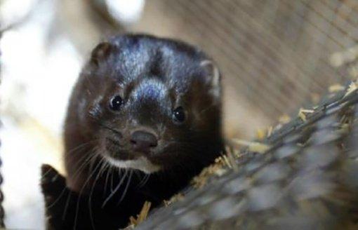Radviliškio rajono savivaldybėje dėl ypač pavojingos gyvūnų užkrečiamosios ligos paskelbta ekstremalioji situacija