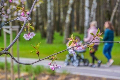 Panevėžyje pakvipo tikru pavasariu – žiedus skleidžia sakuros