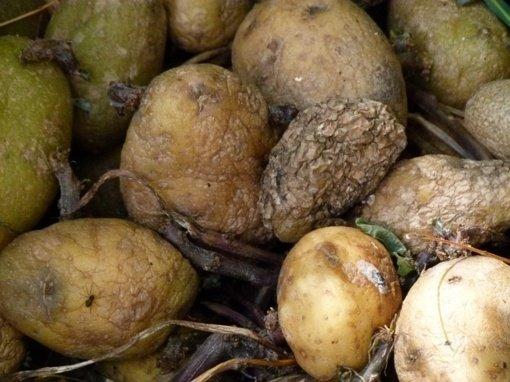 Aktualu pavasarį: pasenusios pernykštės bulvės gali būti mirtinai pavojingos