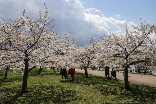 Alytuje svarstoma įrengti japonišką sodą