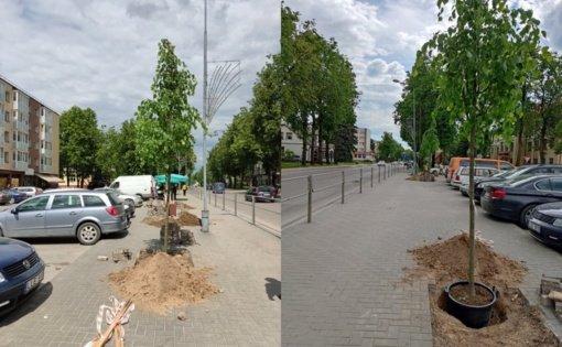 Biržuose Vytauto gatvėje pasodintos naujos liepos