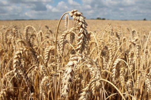 Ūkininkai šiemet tikisi didesnio derliaus nei vidutinis