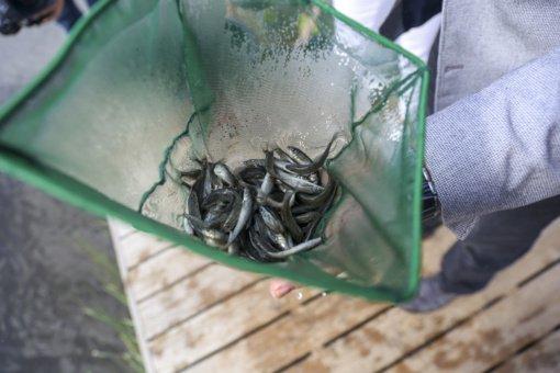 Į Nerį paleista tūkstančiai retų žuvų – ūsorių