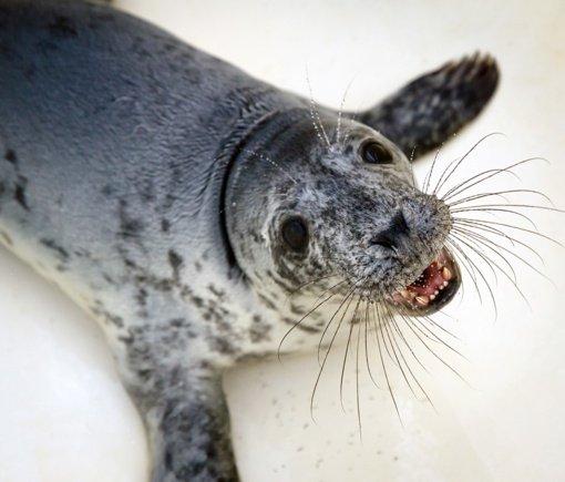 Jūrų muziejų paliks pirmieji jau pasveikę ruoniukai