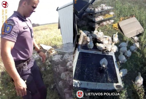 Raseinių rajone policininkai gaudė po eismo įvykio kelyje išsilaksčiusius viščiukus