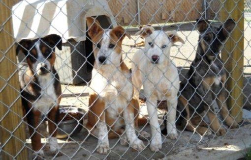 Iš veisėjos A. Perederij bus konfiskuoti 38 šunys