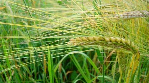 Oninės ir rugiapjūtė – proga iš naujo atrasti duonos skonį