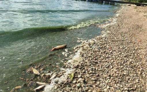 Aplinkosaugininkai aiškinasi, kodėl Kauno mariose gaišta smulkios žuvys