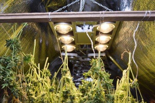 Druskininkietis augino kanapes: gresia laisvės atėmimas