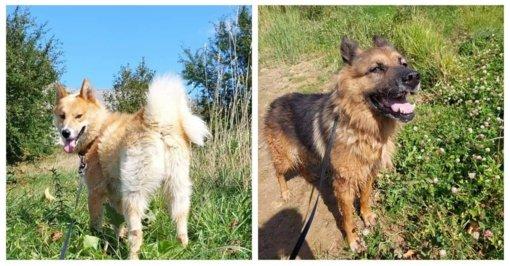 Atklydusių šunų duetas ieško namų Lietuvoje