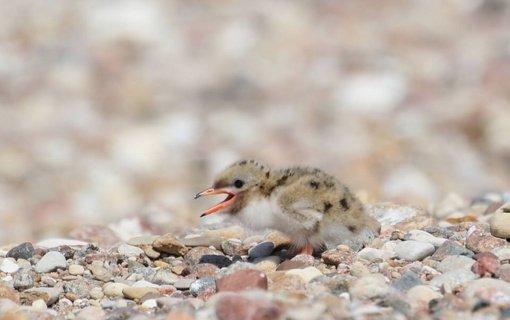Panaudojus iš pažeidėjų surinktas lėšas, reti paukščiai grįžo į Kretuono ežero Didžiąsias salas