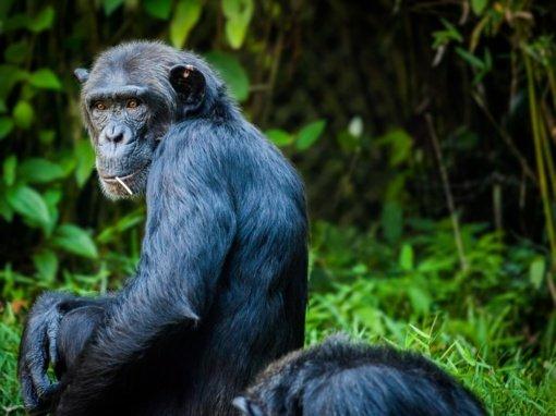 Zoologijos sode – nederami santykiais su šimpanze