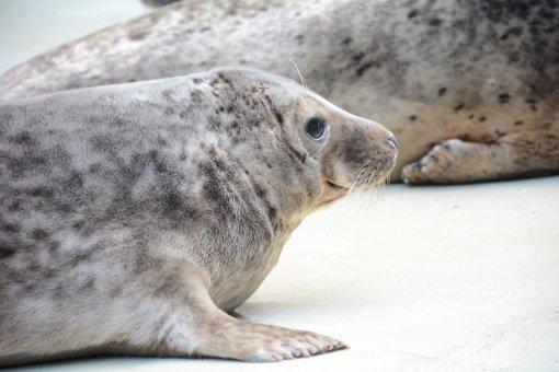 Jūrų muziejų paliko keturi išgydyti ruoniukai