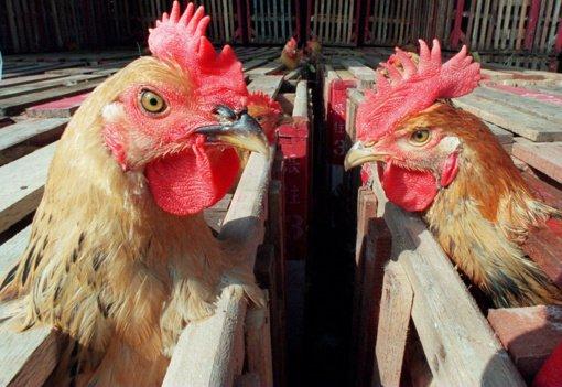 VMVT perspėja naminių paukščių augintojus apie rudenį išaugusią paukščių gripo riziką