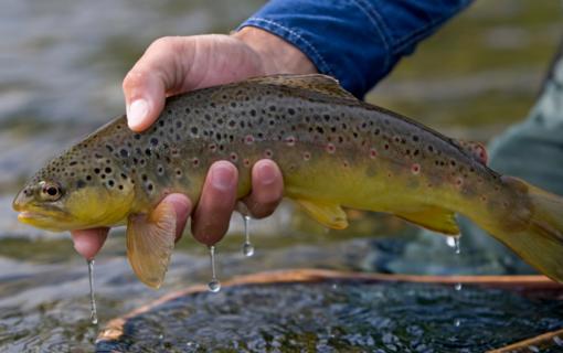 Spalio 1-ąją įsigaliojo griežtesni reikalavimai lašišinių žuvų žvejybai