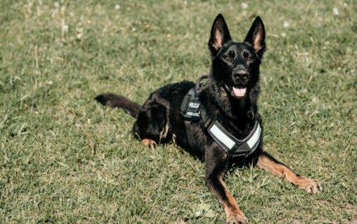 Tarnybinis šuo Enzo sostinėje aptiko galimai narkotinių medžiagų