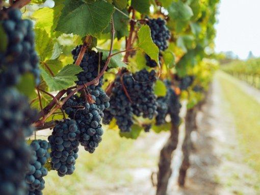 Parlamentaro pasiūlymas padės steigtis mažoms vynuogių vyno gamyklėlėms