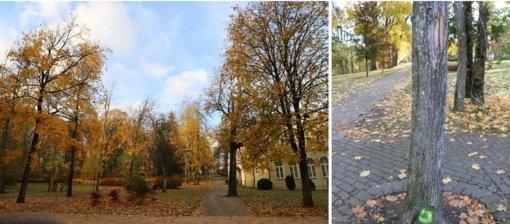 Druskininkų Gydyklų parke, Vilniaus alėjoje ir bažnyčios aikštėje atliekamas medžių būklės vertinimas