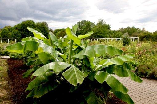 Egzotinių sodų puošmena: lauke žiemojantys bananai