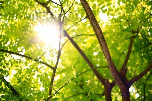 Maironio parke bus genimi ir kertami pavojingi medžiai