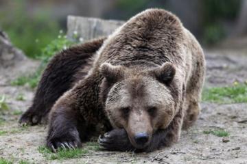 Aplinkosaugininkai vėl tikrins N. Zobovo meškų laikymo sąlygas