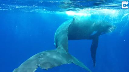 Banginis apgynė nardančią Meino biologę nuo ryklio (vaizdo medžiaga)