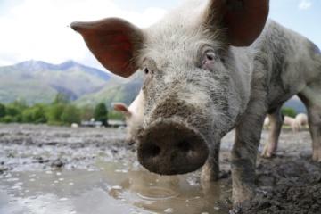 Baltarusijoje įtariamas naujas kiaulių maro protrūkis, tačiau Minskas tai neigia